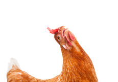 Śmieszny działanie brown żeńska kurczak karmazynka odizolowywał białego backgrou Zdjęcia Stock