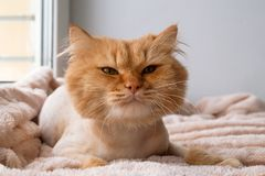 Śmieszny imbirowy długowłosy kot przygotowywający z ostrzyżeniem kłama pod miękką różową koc obrazy royalty free