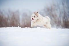 Śmieszny kędzierzawy psi bieg obrazy royalty free