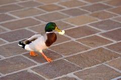 Śmieszny kaczor biega z jedzeniem obrazy royalty free