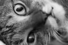 Śmieszny kaganiec szarość paskował domowego kota zakończenie Obraz Stock
