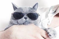 Śmieszny kaganiec szary Brytyjski kot w okulary przeciwsłoneczne Zdjęcia Stock