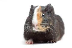 śmieszny królik doświadczalny Fotografia Stock