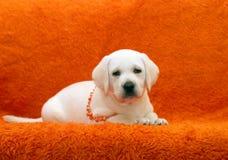 śmieszny labradora szczeniaka kolor żółty Zdjęcie Stock