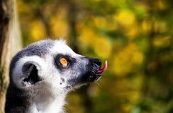 Śmieszny lemur zdjęcie royalty free