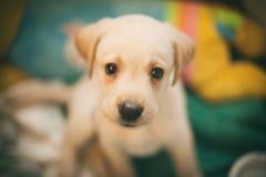 Śmieszny mały labrador patrzeje z interesem w kamerze zdjęcie royalty free