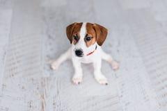 Śmieszny mały szczeniaka Jack Russell Terrier obsiadanie na podłoga w rozłamach Fotografia Stock