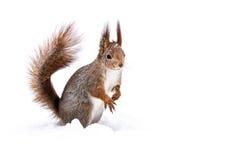 Śmieszny mały wiewiórczy obsiadanie na śniegu obrazy stock