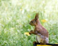 Śmieszny mały wiewiórczy obsiadanie na torbie przeciw zamazanej zielonej trawie obraz stock
