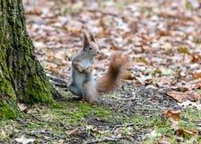 Śmieszny mały wiewiórczy trwanie pobliski drzewo w jesiennym parku fotografia royalty free