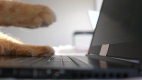 Śmieszny Maine coon kot pracuje przy komputerem pisać na maszynie na notatniku swobodny ruch 3840x2160 zbiory wideo