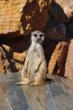 Śmieszny meerkat zwierzę Obrazy Stock