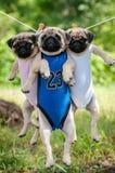 Śmieszny mopsów szczeniaków ważenie w clothesline Zdjęcia Royalty Free