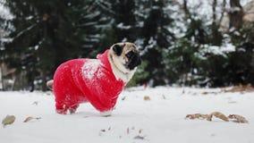 Śmieszny mops w Święty Mikołaj kostiumu stojaku w śniegu w zima parku boże narodzenie w nowym roku zbiory wideo