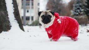 Śmieszny mops w Święty Mikołaj kostiumu stojaku w śniegu w zima parku boże narodzenie w nowym roku zbiory