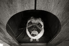 Śmieszny mopsa pies w psie Obrazy Royalty Free
