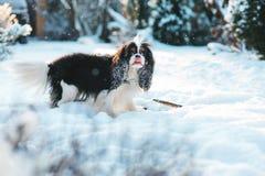 Śmieszny nonszalancki królewiątka Charles spaniela pies zakrywający z śniegiem bawić się na spacerze w wintergarden Obrazy Stock