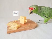 Śmieszny papuzi łasowanie ser i ser pytamy dla pomocy Obraz Royalty Free