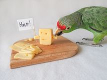 Śmieszny papuzi łasowanie ser i ser pytamy dla pomocy obrazy stock