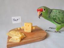 Śmieszny papuzi łasowanie ser i ser pytamy dla pomocy Obrazy Royalty Free