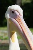Śmieszny pelikan głowy zakończenie up Obrazy Royalty Free