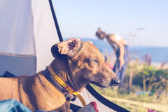 Śmieszny pies śpi w namiocie - cudowna podróż dla wszystko Fotografia Stock