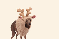 Śmieszny pies w jelenim kapeluszu fotografia stock