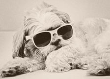 Śmieszny pies w mod szkłach Zdjęcie Royalty Free