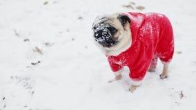Śmieszny pies z śniegiem na kaganów spojrzeniach w kamerze W górę portreta mopsa pies w Święty Mikołaj kostiumu Boże Narodzenia l zdjęcie wideo