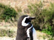 Śmieszny pingwin cieszy się światło słoneczne w Chubut Zdjęcie Stock