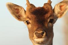 Śmieszny portret jelenia samiec Obraz Royalty Free