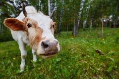 Śmieszny portret krowa w łące Strzał na szerokim kąta obiektywie Fotografia Royalty Free