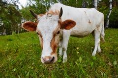Śmieszny portret krowa w łące Strzał na szerokim kąta obiektywie Obrazy Royalty Free