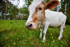 Śmieszny portret krowa w łące Strzał na szerokim kąta obiektywie Zdjęcia Royalty Free