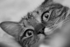 Śmieszny portret szary domowy kot Czarny i biały wizerunek Obrazy Royalty Free