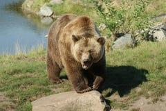 Śmieszny przyglądający brown niedźwiedź Zdjęcia Royalty Free