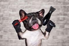 Śmieszny psi francuskiego buldoga fryzjera męskiego chwyt grępla i hairdryer m??czyzna na bia?ym ?ciany z cegie? tle obraz stock