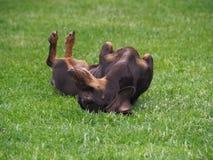 ?mieszny psi jamnika lying on the beach w trawie zdjęcia royalty free