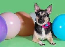 Śmieszny psi kundel z łękiem na jego szyi wśród balonów na zielonym tle Obraz Royalty Free