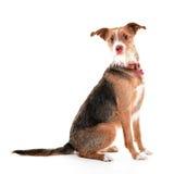 Śmieszny psi portret w białym studiu obrazy stock