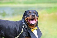Śmieszny psi Rottweiler z piękną koszula, kołnierz ono uśmiecha się w lecie na zielonym tle fotografia royalty free