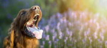 Śmieszny psi sztandar zdjęcie royalty free