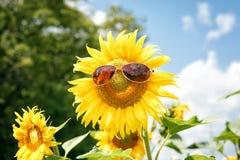 śmieszny słonecznik Fotografia Royalty Free