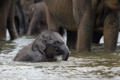 Śmieszny słonia dziecko w wodzie, Pinnawala Obrazy Stock