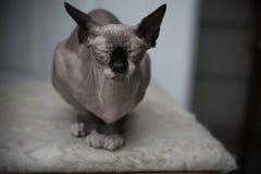 Śmieszny sfinksa kota portreta indoors środek strzelał płytką głębię pole obraz stock