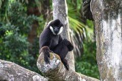 Śmieszny Stawiający czoło Męski Północny biały Gibbon Nomascus leucoge obraz royalty free