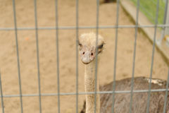 Śmieszny struś patrzeje kamerę w zoo Fotografia Royalty Free