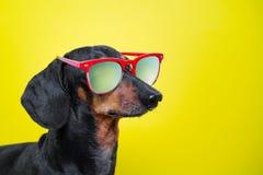 Śmieszny trakenu psa jamnik, czarny i dębny, z słońc szkłami, żółty pracowniany tło, pojęcie psie emocje Tło dla yo obraz royalty free