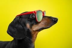 Śmieszny trakenu psa jamnik, czarny i dębny, z słońc szkłami, żółty pracowniany tło, pojęcie psie emocje Tło dla yo zdjęcie royalty free