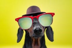 Śmieszny trakenu psa jamnik, czarny i dębny, z słońc szkłami i kapeluszem, żółty pracowniany tło, pojęcie psie emocje Backgroun zdjęcia royalty free